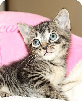 Domestic Shorthair Kitten for adoption in Winston-Salem, North Carolina - Joey