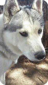 Siberian Husky Dog for adoption in Apple valley, California - Blizz