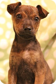 Chihuahua/Dachshund Mix Puppy for adoption in Hagerstown, Maryland - Lucy