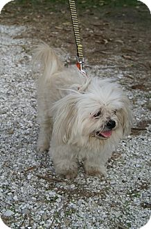 Lhasa Apso Mix Dog for adoption in Englewood, Florida - Mufasa