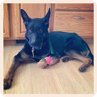 German Shepherd Dog Dog for adoption in Worcester, Massachusetts - Max