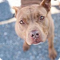 Adopt A Pet :: Petunia - Reisterstown, MD