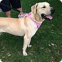 Adopt A Pet :: Hailey - Wilmette, IL