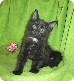 Domestic Mediumhair Kitten for adoption in Pueblo West, Colorado - Matilda
