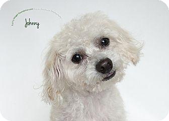 Maltese Mix Dog for adoption in Rancho Mirage, California - Johnny
