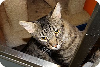 Domestic Mediumhair Cat for adoption in Elyria, Ohio - Samuel