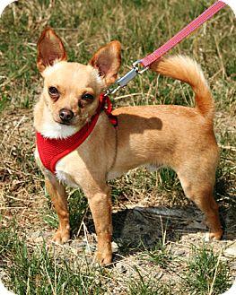 Chihuahua Mix Dog for adoption in Bellingham, Washington - Rumple