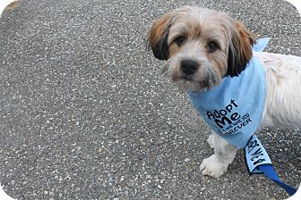 Cockapoo/Shih Tzu Mix Dog for adoption in Wappingers, New York - buddy