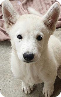Siberian Husky Puppy for adoption in Apple valley, California - Nika