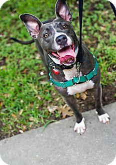 Pit Bull Terrier Mix Dog for adoption in Houston, Texas - Mia