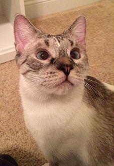 Siamese Cat for adoption in Harrisburg, North Carolina - Count
