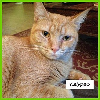 Domestic Shorthair Cat for adoption in Miami, Florida - Calypso