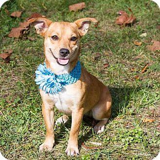 Chihuahua/Corgi Mix Dog for adoption in Minneapolis, Minnesota - Lucy Chihuahua