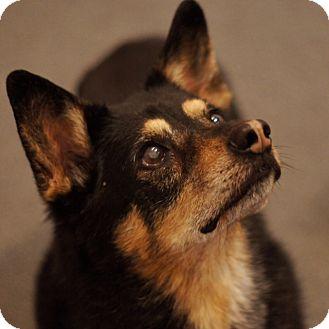 Corgi/Shepherd (Unknown Type) Mix Dog for adoption in Port Clinton, Ohio - KOKOMO