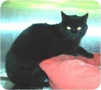 Domestic Shorthair Cat for adoption in Overland Park, Kansas - Clayton