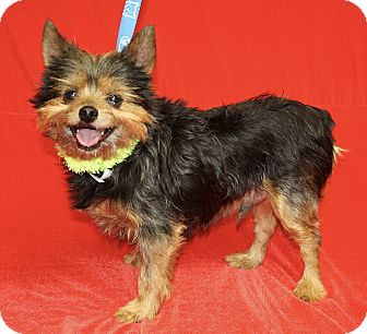 Yorkie, Yorkshire Terrier Mix Dog for adoption in Jackson, Michigan - Bruiser