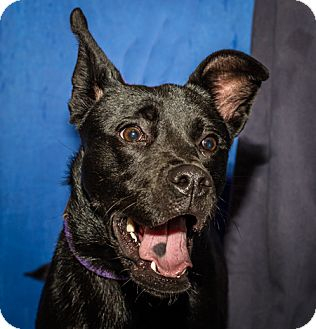Terrier (Unknown Type, Medium)/Australian Cattle Dog Mix Dog for adoption in Martinsville, Indiana - Lucy