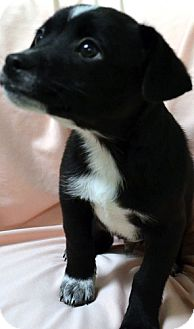 Chihuahua/Terrier (Unknown Type, Medium) Mix Puppy for adoption in Erwin, Tennessee - Ray