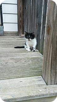 Domestic Mediumhair Kitten for adoption in Villa Hills, Kentucky - Junior