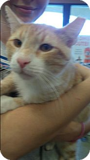 Domestic Shorthair Cat for adoption in Palm Springs, California - Hobo