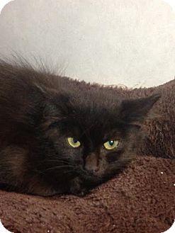 Domestic Mediumhair Kitten for adoption in Cashiers, North Carolina - Myers