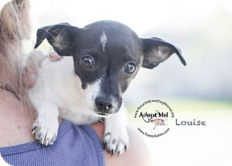Toy Fox Terrier Mix Puppy for adoption in Inland Empire, California - LOUISE