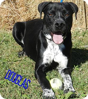 Boxer Mix Dog for adoption in Lawrenceburg, Tennessee - Douglas