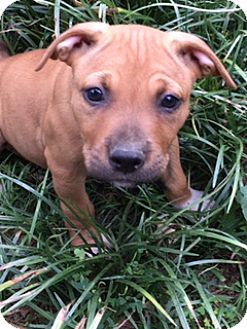 Boxer/American Pit Bull Terrier Mix Puppy for adoption in Spring Valley, New York - Apple  (ETAA)