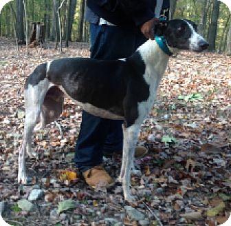 Greyhound Dog for adoption in Gerrardstown, West Virginia - JS Turner Over