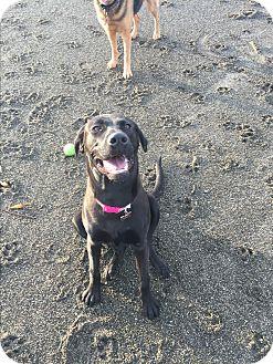 Weimaraner/Labrador Retriever Mix Dog for adoption in Studio City, California - Luna