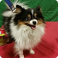Adopt A Pet :: Reno-Adopted! - Detroit, MI