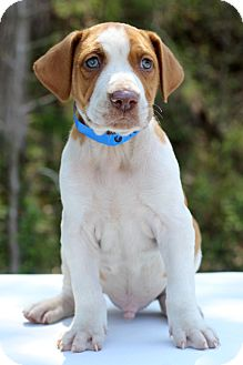 Hound (Unknown Type) Mix Puppy for adoption in Waldorf, Maryland - Haiti