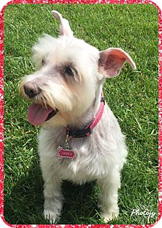 Miniature Schnauzer Dog for adoption in Sharonville, Ohio - Indee