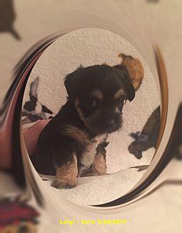 Bichon Frise/Chihuahua Mix Puppy for adoption in Tulsa, Oklahoma - Adopted!! Luigi - NV