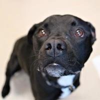 Adopt A Pet :: Boston - Auburn, AL