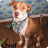Adopt A Pet :: Chief - Lonely Heart - Gulfport, MS