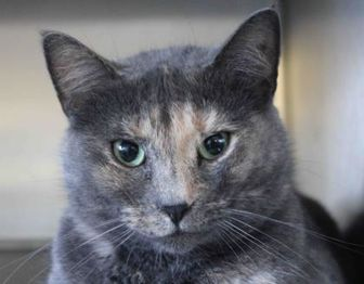 Domestic Shorthair/Domestic Shorthair Mix Cat for adoption in Watertown, New York - Nutmeg