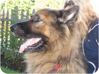 Shepherd (Unknown Type) Mix Dog for adoption in Los Angeles, California - Andre