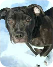 American Pit Bull Terrier Mix Puppy for adoption in Walker, Michigan - October