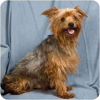 Yorkie, Yorkshire Terrier Mix Dog for adoption in Anna, Illinois - TIMMY