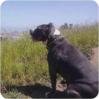 American Pit Bull Terrier Mix Dog for adoption in Berkeley, California - Duke
