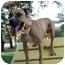 Photo 3 - Mountain Cur Dog for adoption in Burleson, Texas - Conan