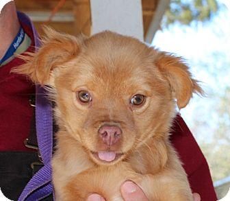 Pomeranian/Pekingese Mix Puppy for adoption in Allentown, Pennsylvania - Ruffles