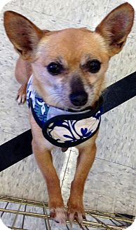 Chihuahua Mix Dog for adoption in San Diego, California - Tootie