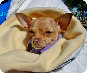 Chihuahua Dog for adoption in AUSTIN, Texas - OLIVE