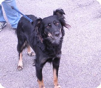"""Border Collie Mix Dog for adoption in New Castle, Pennsylvania - """" Luka """""""