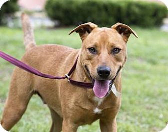 American Pit Bull Terrier Mix Dog for adoption in Gainesville, Florida - Spearmint