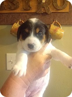 Beagle/Australian Cattle Dog Mix Puppy for adoption in Snyder, Texas - Calli