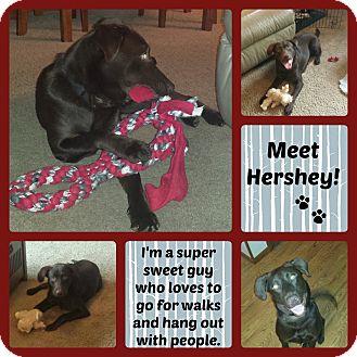 Labrador Retriever Mix Dog for adoption in Oak Creek, Wisconsin - Hershey