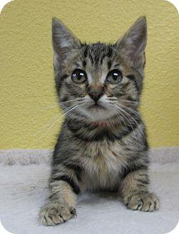 American Shorthair Kitten for adoption in Benbrook, Texas - Lulu